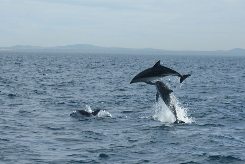 Dolphins while sailing